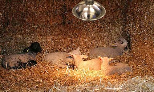 Lambs under a heatlamps